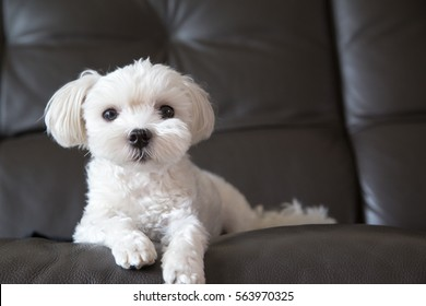 A Cute Maltese laying down on black leather sofa, looking at viewer in living room.