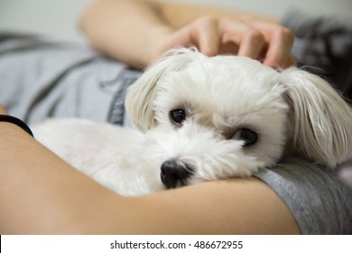 A Cute Maltese laying on bed with young women.