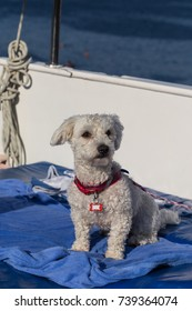 A Cute Maltese Sitting on a Blue Towel in a Sailboat.