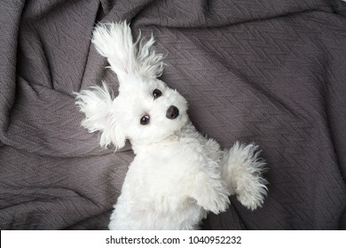 Cute maltese white puppy relaxing on blanket looking up.