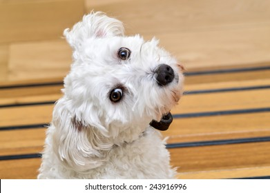 Cute maltezer dog with his head turned