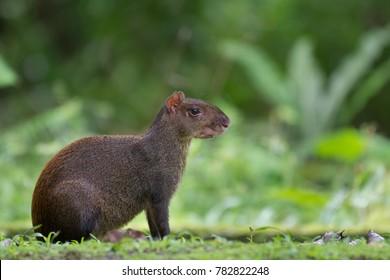 Cute mammal - Agouti, Panama