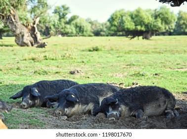 Cute Mangalica, Mangalitsa, Mangalitza pigs resting together on the sun on the Danube Island Krcedinska Ada in Serbia,Vojvodina