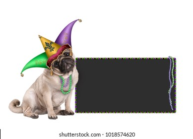 cute Mardi gras carnival pug puppy dog sitting down with harlequin jester hat and blackboard sign,  isolated on white background