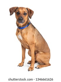 Cute medium size brown mixed breed dog sitting to side facing forward