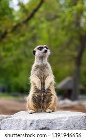 ミーアキャットの画像写真素材ベクター画像 Shutterstock