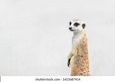 Cute Meerkat Suricata suricatta, African native animal, small carnivore belonging to the mongoose family, pet concept