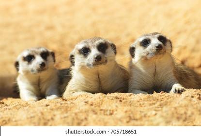 Cute Meerkat ( Suricata suricatta ) lying on the sand. Funny African animals.