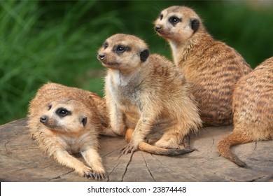 Cute meerkats or suricates in the afternoon sun