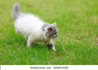 Cute meowing kitten walking on the grass