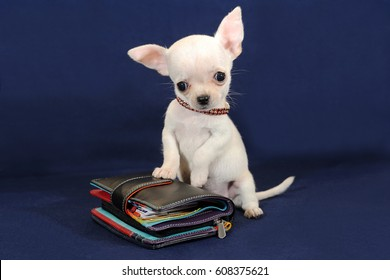 Cute miniature Chihuahua puppy with a wallet on a blue background.