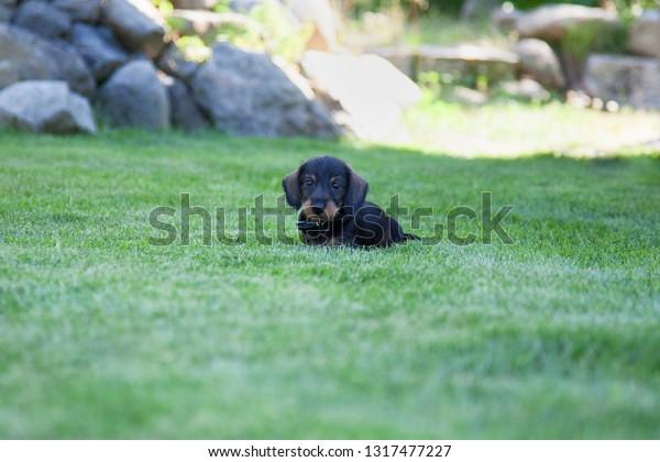 Cute miniature dachshund Puppy playing on a grass field