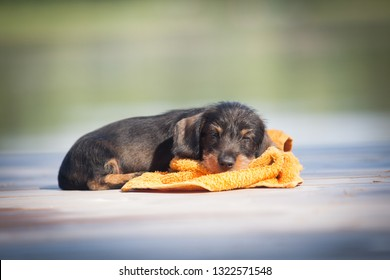 Cute miniature dachshund puppy sleeping on a towel