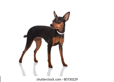 cute miniature pincher posing on white background