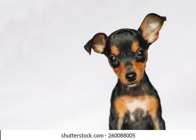 cute miniature pinscher puppy looking