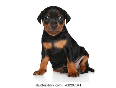 Cute Miniature Pinscher puppy sits in front of white background