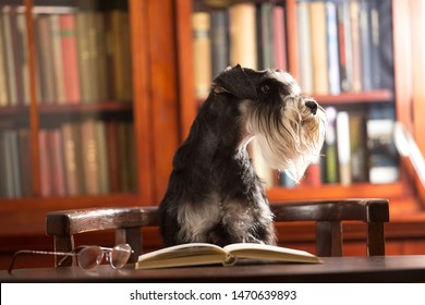 Cute Miniature schnauzer dog reads a book in the library