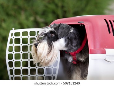 Cute Miniature schnauzer looking from dog carrier with open door