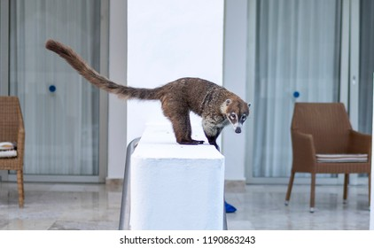 Cute and mischievous coati or coatimunday scavenging around an all inclusive luxury hotel whilst being perched on a swin up pool balcony