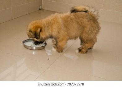 Cute Mischievous Tibetan Lhasa Apso Puppy