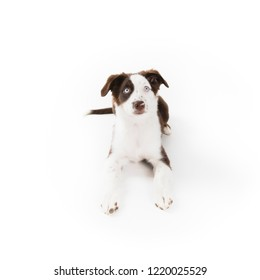 Cute mismarked red tri Miniature Australian Shepherd puppy isolated on white.