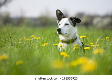 Cute mixed breed dog on the field of dandelions