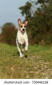 Cute mixed breed dog is running on meadow in summer
