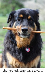 cute mixed breed rottweiler chow dog chews bully stick treat and poses for portraits happily