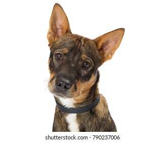 Cute mixed breed Shepherd young dog looking into camera. Closeup of face with head tilted