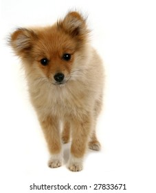 Cute Mixed Pomeranian Puppy on White Background