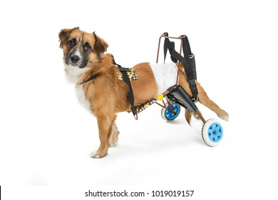 Cute mixed small breed dog with paralyzed back legs in a wheelchair wearing a diaper