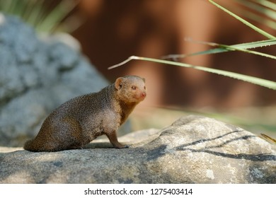 Cute mongoose on rock