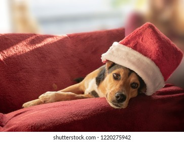 Cute mongrel dog with santa hat. Mixed breed: Greek hound and German shepherd