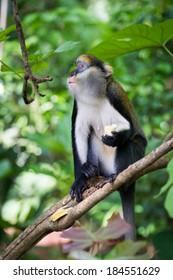 Cute Monkey (Cercopithecus mona) on a tree in Ghana