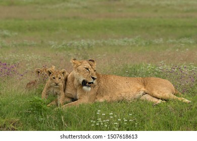 cute mother lioness with two cubs relaxing in the grass of crater Ngorongoro
