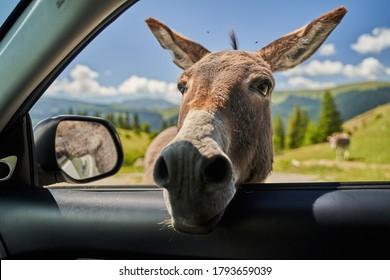 Cute mountain donkey sticking his head through car's window