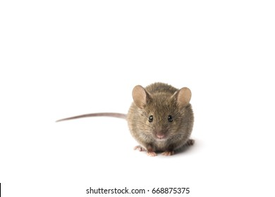 Cute mouse on a white background