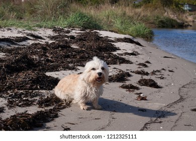 Cute mustard colored Dandie Dinmont Terrier, sitting on a beach with seaweed and part of the sea and grass as background