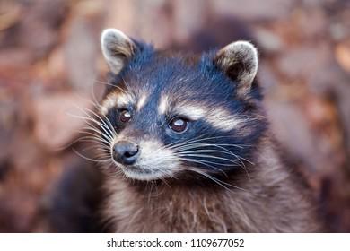 cute muzzle of a raccoon