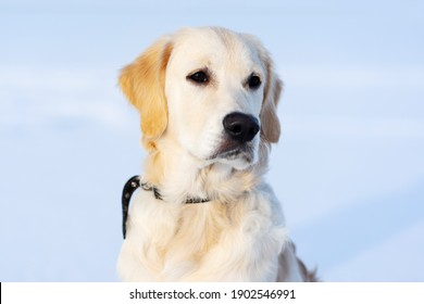 Cute muzzle of young retriever dog on snowy background