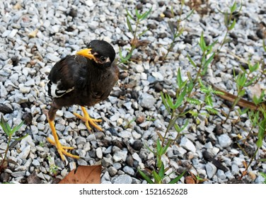 A cute myna bird with brown-black-white feathers with a yellow mouth is walking on a gray gravel field.