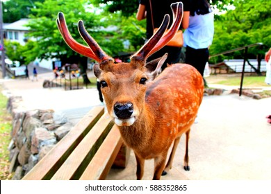 A cute Nara Deer with antlers gazes into the camera before bowing for crackers at Nara Park,Japan