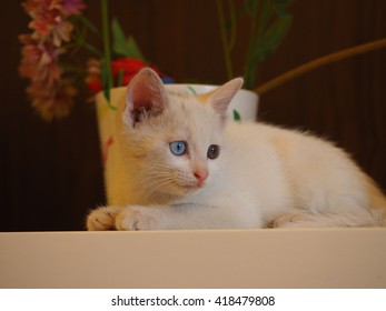 A cute naughty white cat
