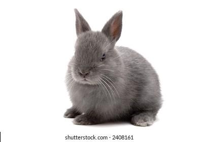 Cute Netherland Dwarf bunny on white background
