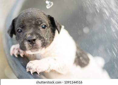 cute new born half french bulldog puppy dog shower with water splash with copy space pet and  animal healthcare concept
