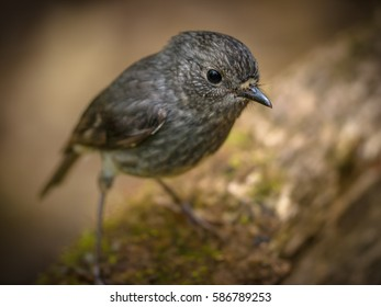 Cute new zealand North Island Robin (Petroica longipes) looking at spectator
