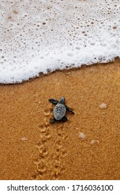 cute newborn baby sea turtle of the loggerhead (caretta caretta) specie on the sand at the beach leaves footprints walking to the sea after emerging leaving the nest at Bahia coast, Brazil, top view