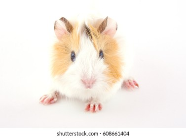 Cute newborn guinea pig baby (on the white background)