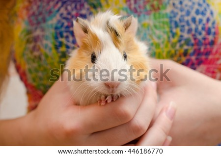 Cute newborn (one-day-old) guinea pig baby in child hands, selective focus on the guinea pig nose