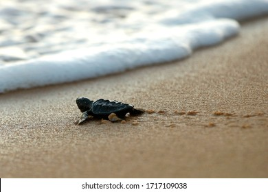 Cute newborn Sea Turtle, Caretta caretta, birth on the sand beach, Bahia, Brazil. Ocean Live, small Loggerhead baby crawl from nest to the foamy sea water. Young tortoise born in wild.